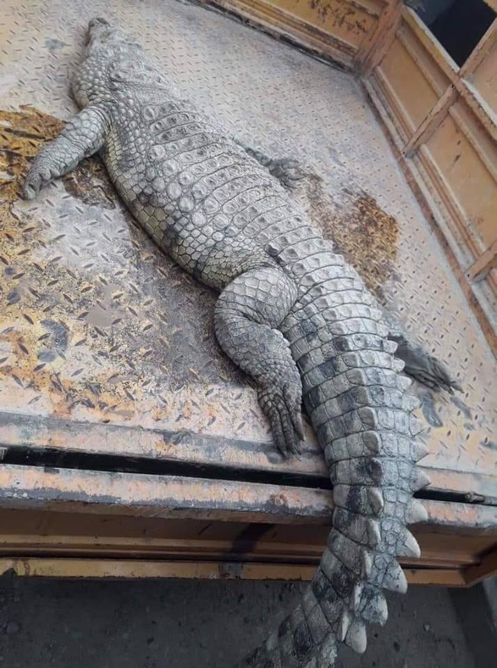 """مالك حديقة حيوان لـ""""ناس"""": """"تمساح العمارة"""" قضى صعقًا بالكهرباء ولم يقتله أحد"""