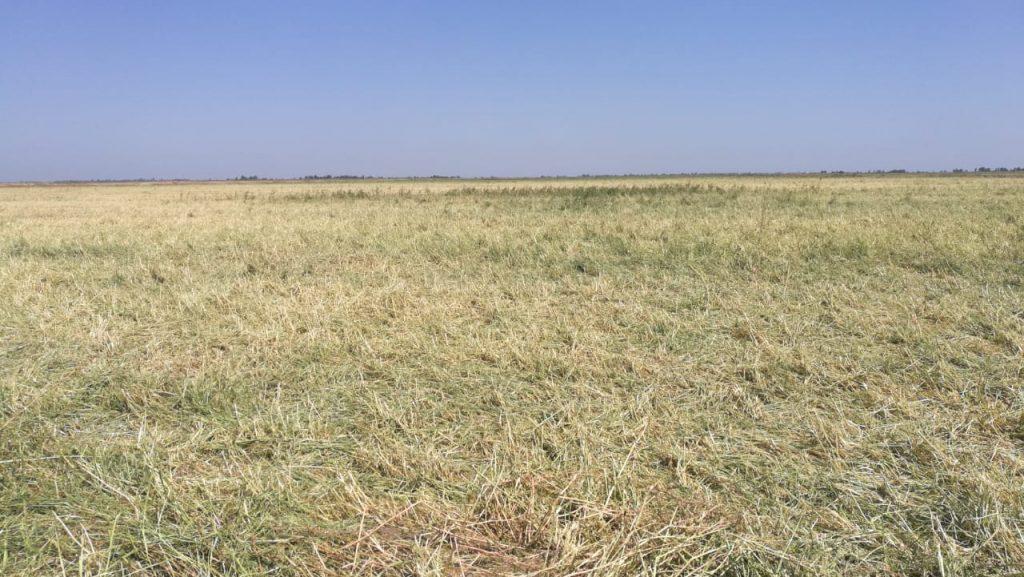الأمطار تتلف حقول الحنطة والشعير في الديوانية.. ومطالبات بتعويض المزارعين (صور)