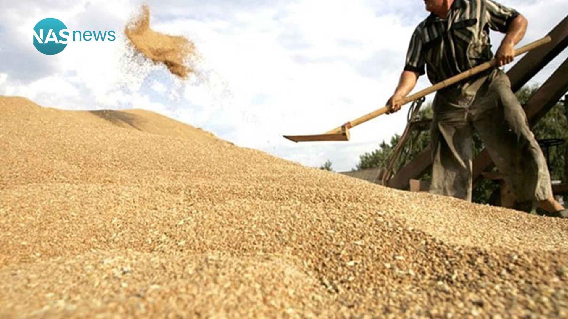 """1e4ec35598bbc """"الحبوب الذهبية"""" تتخم المخازن العراقية  ماذا يعني وصول إنتاج الحنطة لأرقام  قياسية؟"""