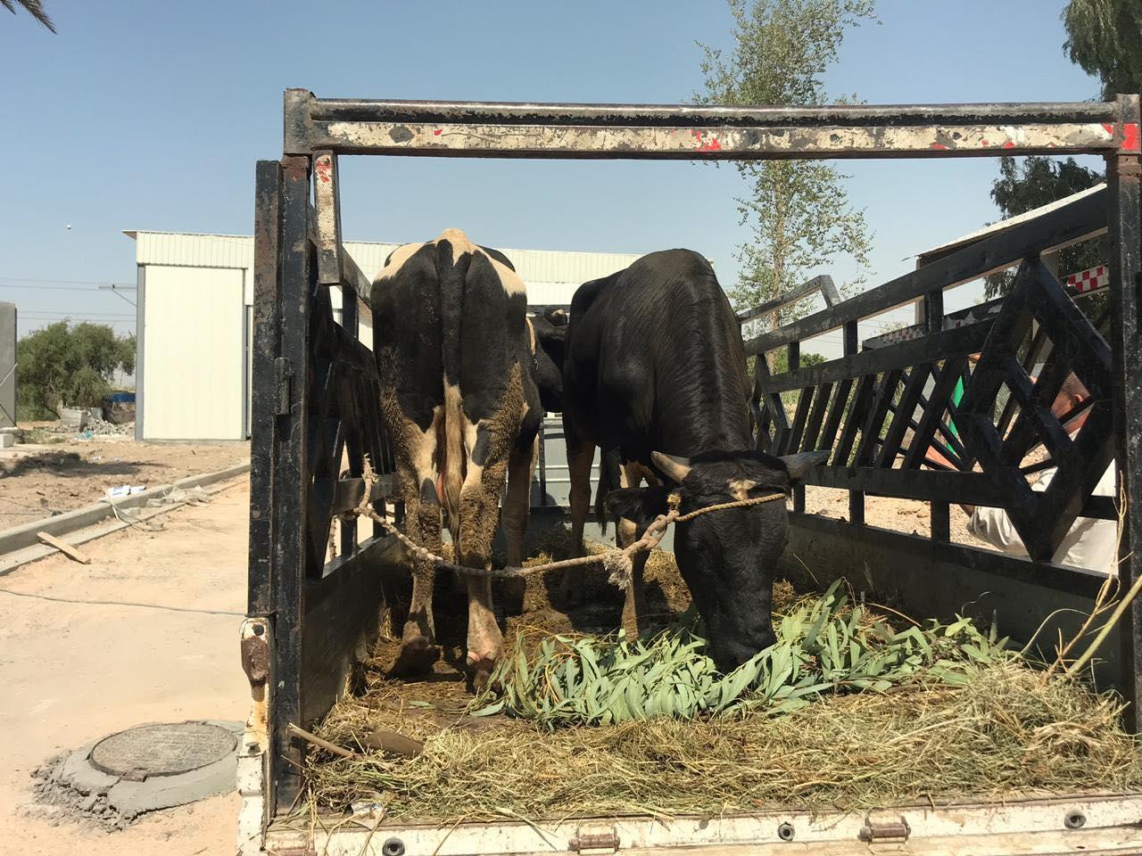 أين تذهب الأبقار التي تصادرها أمانة بغداد؟ (صور)